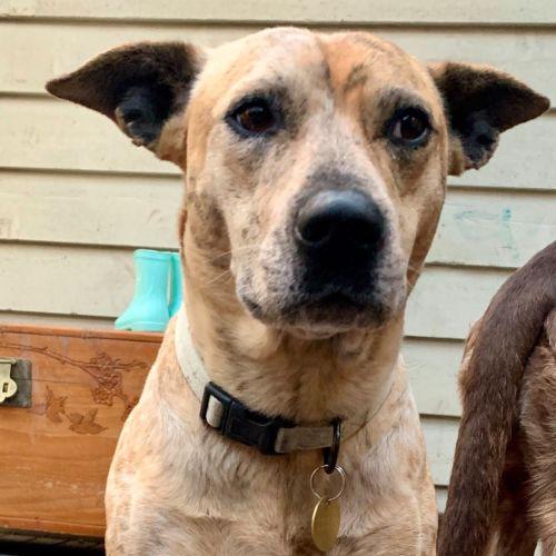 Delorean - Australian Cattle Dog