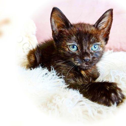 BlackBerry  - Domestic Short Hair Cat