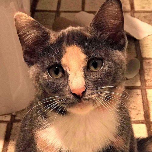 Shanti- loves kids - Domestic Short Hair Cat