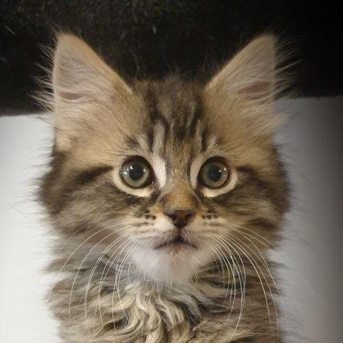 Elijah - Domestic Long Hair Cat