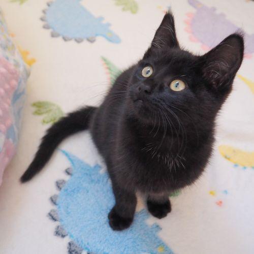 Soot - Domestic Medium Hair Cat