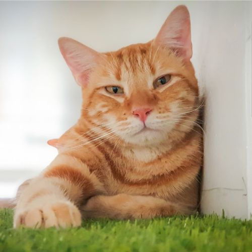 Adult Cat Carers Needed - Domestic Short Hair Cat