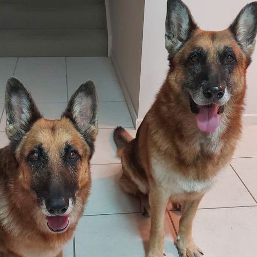 Rebel and Ruby 💞💞 - German Shepherd Dog