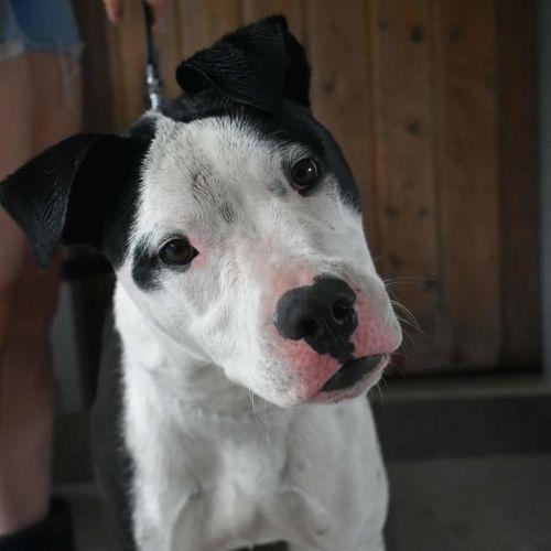 Doug  - American Bulldog x Cross breed Dog