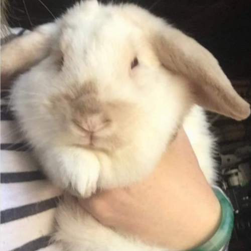 Sparkles - Mini Lop Rabbit