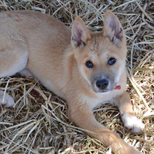 Bella - Dingo