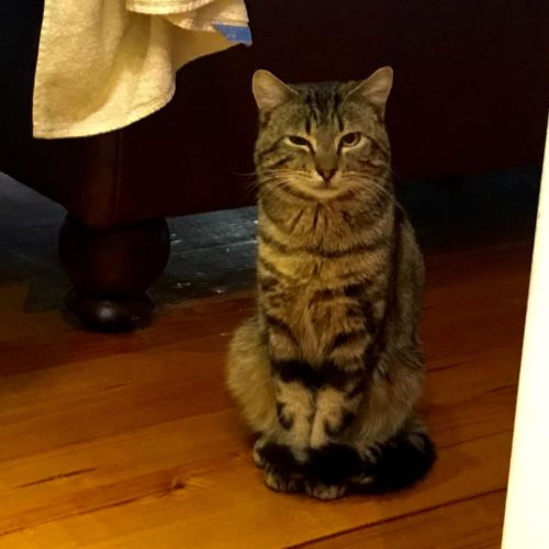 Sonny - Meet me at Neko HQ in Preston - Domestic Short Hair Cat
