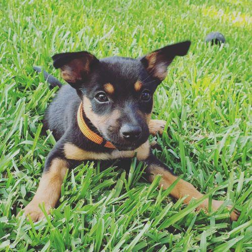 Panela - Kelpie Dog