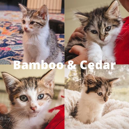Bamboo & Cedar ~ 13 week old sisters