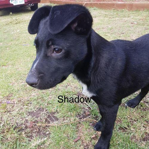 shadow - Labrador Dog