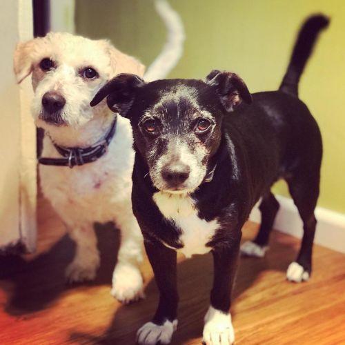 Baileykin & Piccoloni - Poodle x Terrier Dog
