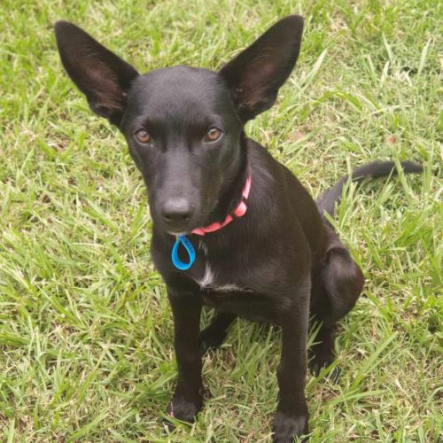 Venus ~ Adoption Pending ~ - Kelpie Dog