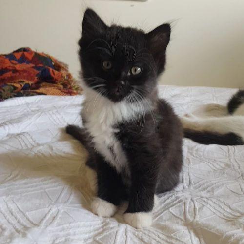Cairo - Domestic Medium Hair Cat