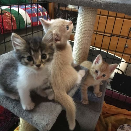 Rescue kittens - Domestic Short Hair Cat