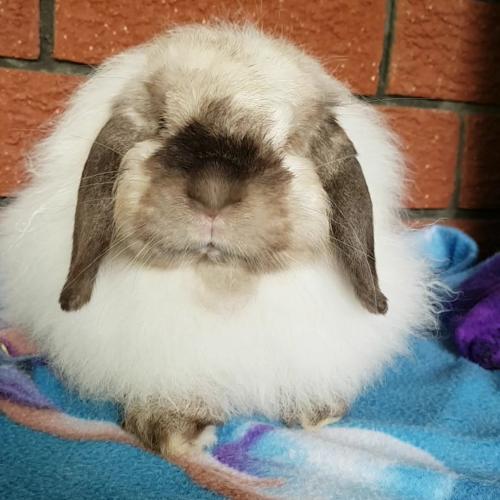 Miss Fluffybutt - Cashmere Rabbit