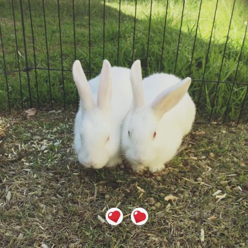 Potato and Mash - Dwarf Rabbit