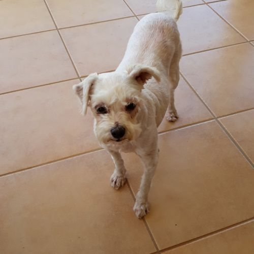 Fifi 💐 - Maltese Dog