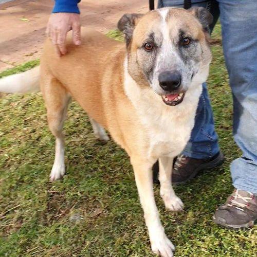 Cooper DL2451 - Mastiff Dog