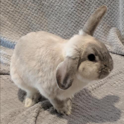 Asher - Mini Lop Rabbit