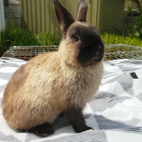 Chino - Netherland Dwarf Rabbit