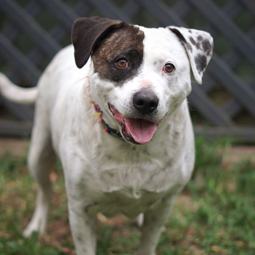 Patches ~ 6 yo Cattle x Staffy - Staffy x Australian Cattle Dog