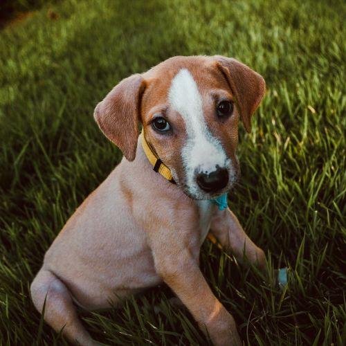 Daisy ~ Adoption Pending ~ - Mastiff Dog