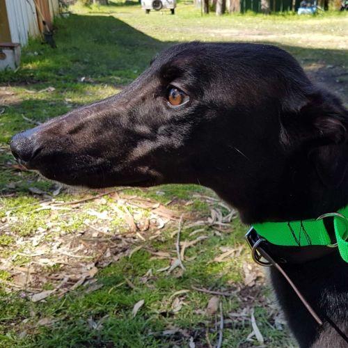 Archie  - Greyhound Dog