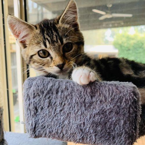 Tabitha ^^Dandy Cat Rescue^^ - Domestic Short Hair Cat