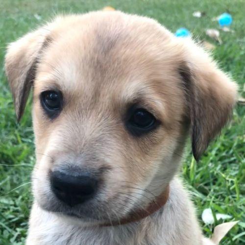 Grady - Kelpie x German Shepherd Dog