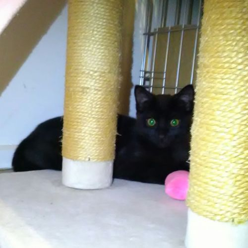 Bonnie **2nd Chance Cat Rescue** - Domestic Short Hair Cat