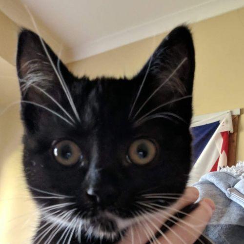 Gina - Domestic Short Hair Cat