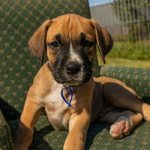 Hooch ~ Boxer X Mastiff Puppy