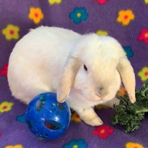 Cauliflower - Mini Lop Rabbit