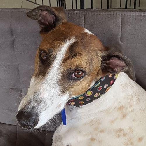 Riddle - Greyhound Dog