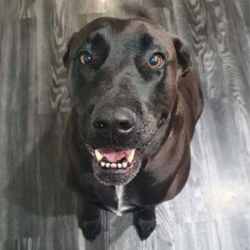 Xena ~ 6yr Old Mastiff X