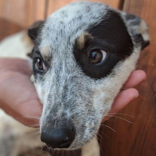 Cotton tail  - Border Collie x Kelpie x Blue Heeler Dog