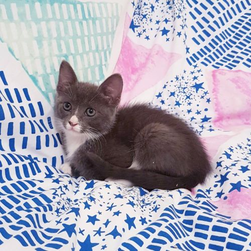 Bluebelle - Domestic Short Hair Cat