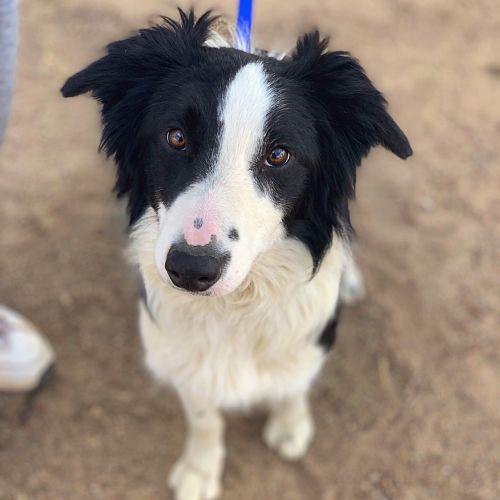 Coupon  - Border Collie Dog