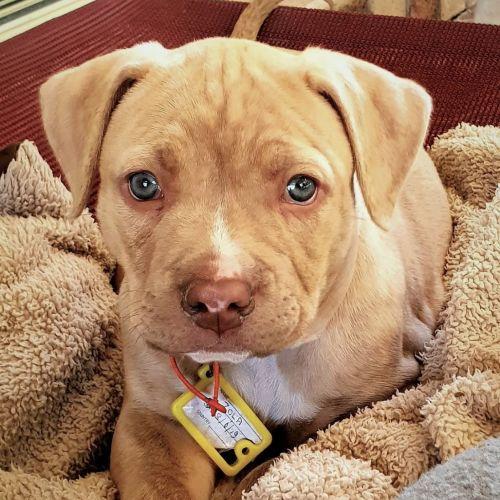 Zola - Amstaff Dog