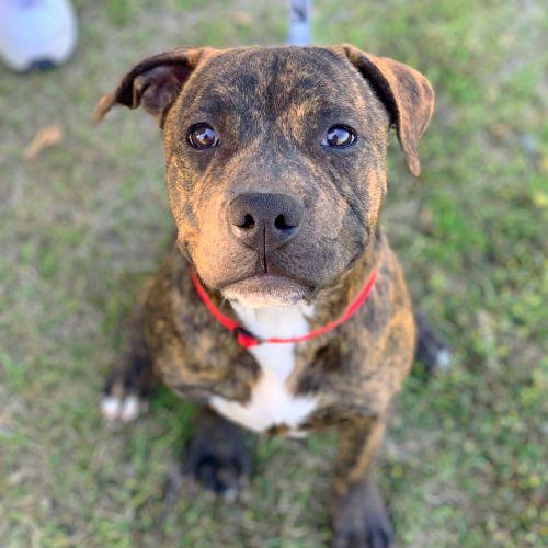 Crumpet - Staffordshire Bull Terrier Dog