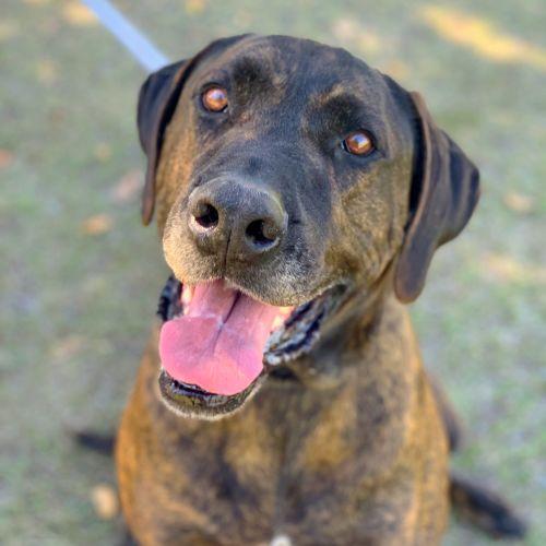 Milo ~ $150 Adoption Fee ~ - Rhodesian Ridgeback Dog