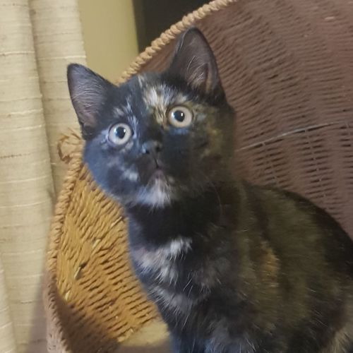 Sasha And Dasha - Domestic Short Hair Cat