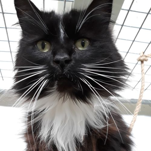 Maggie - Domestic Long Hair Cat