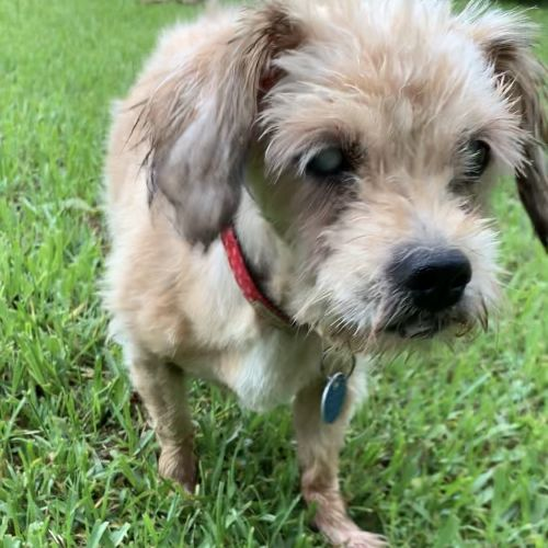 Doris - Maltese x Silky Terrier Dog
