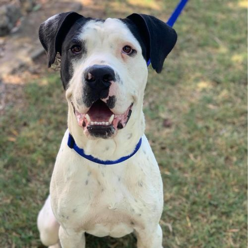 Smiley ~ $150 Adoption Fee ~ - American Bulldog x Bull Arab Dog