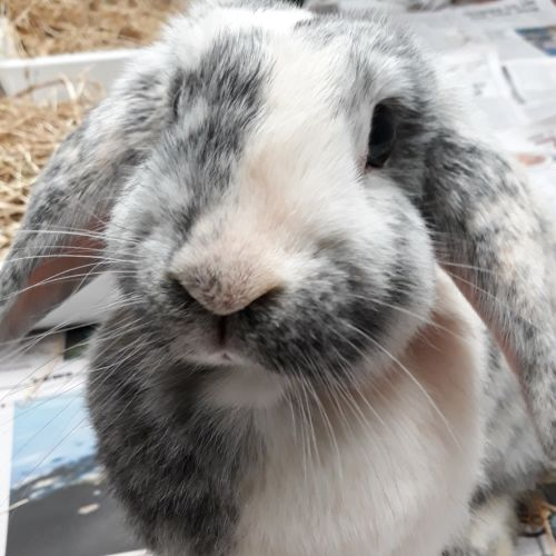 Lacey - Lop Eared Rabbit