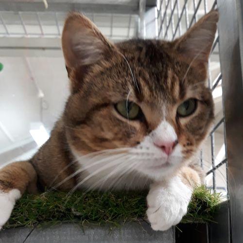 Creek - Domestic Short Hair Cat
