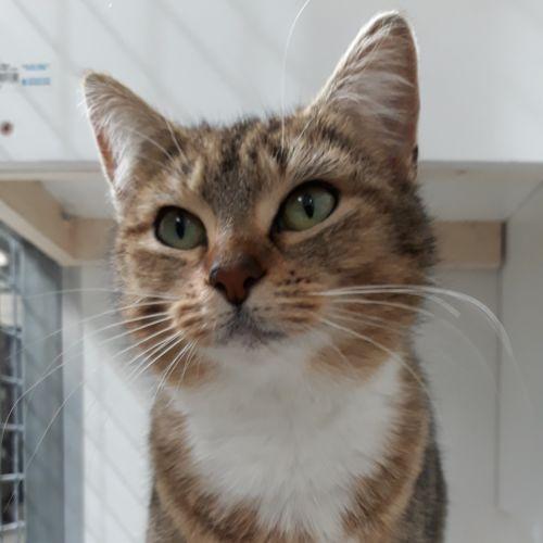 Mona - Domestic Short Hair Cat