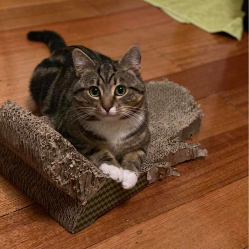 Ben (Located in Clayton) - Domestic Short Hair Cat