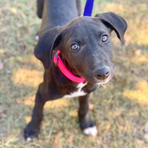 May - Greyhound x Bull Arab Dog